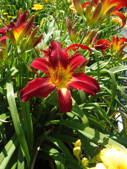 Thumbnail image of Hemerocallis SPIDER MAN