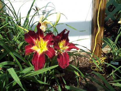Thumbnail image of Hemerocallis STACK THE DECK