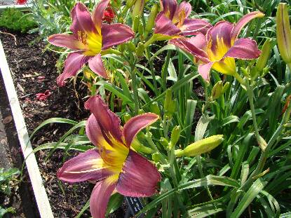 Thumbnail image of Hemerocallis STAR OF INDIA