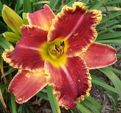 Thumbnail image of Hemerocallis STARTLE