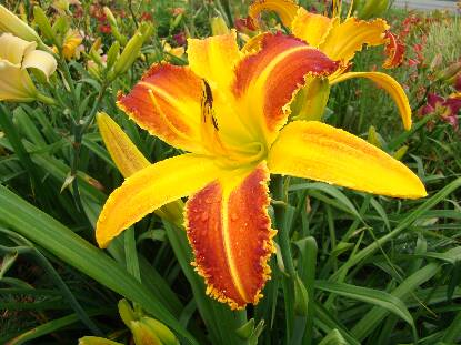 Thumbnail image of Hemerocallis STARTLING CREATION
