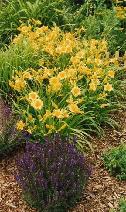 Full size photo of Hemerocallis STELLA DE ORO