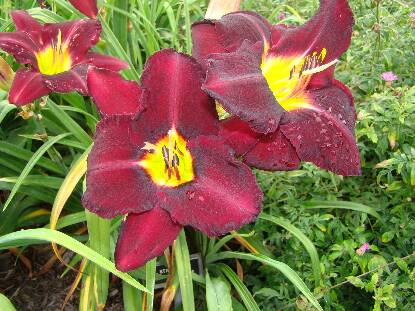 Thumbnail image of Hemerocallis STILL NIGHT
