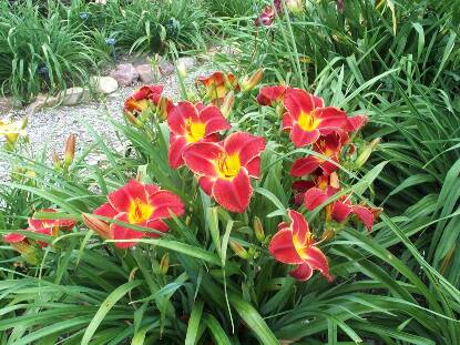 Full size photo of Hemerocallis STREET URCHIN