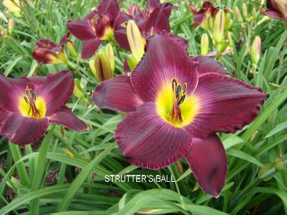 Thumbnail image of Hemerocallis STRUTTER'S BALL