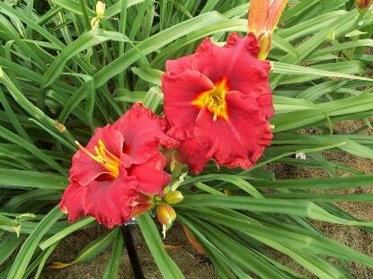 Thumbnail image of Hemerocallis SUDDENLY IT'S AUTUMN