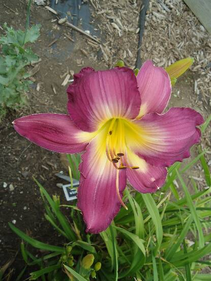 Thumbnail image of Hemerocallis SWIRLING WATER