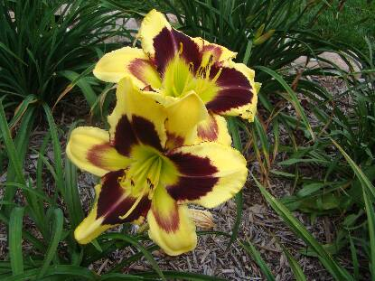 Full size photo of Hemerocallis TAR AND FEATHER