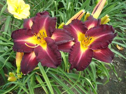 Full size photo of Hemerocallis UNIQUELY DIFFERENT