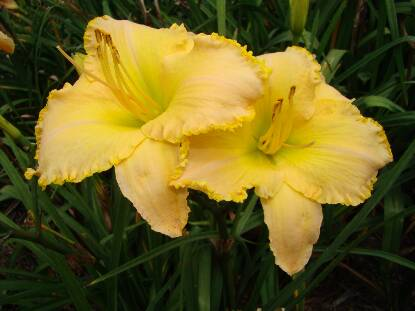 Full size photo of Hemerocallis WITH THIS RING