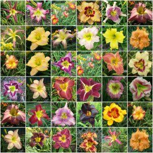 All Daylilies